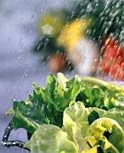 Wasser spritzt auf Blattsalate