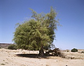 Camphor tree in Yemen, Arabia