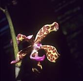 Orchid (Asia, Myramar)