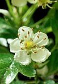 Hawthorn blossom (May blossom, Crataegus monogyna)