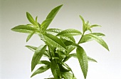 Lemon verbena (Lippia citrodora), sprigs with leaves