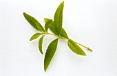A sprig of lemon verbena