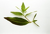 Evening primrose, a sprig with leaves on white background