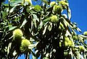 Sweet chestnuts on the tree (background: blue sky)