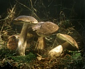 Yellow boletus on the forest floor