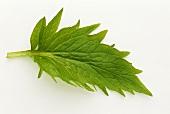 A fresh valerian leaf (Valeriana officinalis)