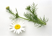 Echte Kamille, einzelner Stiel & einzelne Blüte
