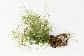 Tormentil, flowering plant with roots, on white background