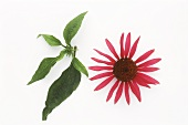 Red Echinacea (Echinacea), flower and leaves