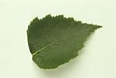 A birch leaf on white background