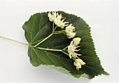 Lime blossom on a lime leaf