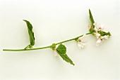 Ein Zweig blühender Eibisch (Althaea officinalis)