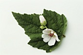 A mallow flower on a mallow leaf