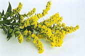 Flowering golden rod