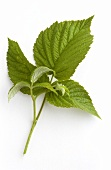 Raspberry leaves (natural remedy)