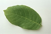 A walnut leaf (natural remedy)