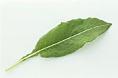 A bistort leaf (Polygonum bistorta)