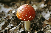 A Fly Agaric (Amanita muscaria, very poisonous!)