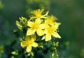 St. John's wort flowers on the plant