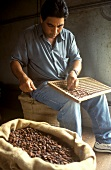 Man cutting cocoa beans open with knife (testing quality)