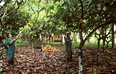 Brazilians under cacao trees harvesting the cacao fruits