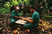 Arbeiter beim Öffnen d.Kakaofrüchte & Herauslösen d.Kerne