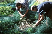 Olive harvest in Liguria: men collecting olives from the net