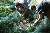 Olivenernte in Ligurien: Männer sammeln Oliven aus dem Netz