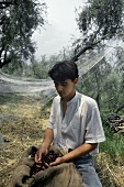 Olive harvest in Liguria, young man with a sack of olives