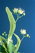 Lindenblüten (Tiliae flos) vor dunkelblauem Hintergrund