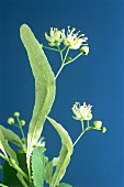 Lime blossom (Tilia flos) against dark blue backdrop