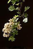 Hawthorn blossom (Crataegus monogyna), black background