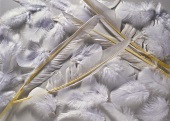 Several Goose Feathers