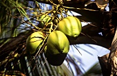 Coconuts on a coconut palm