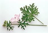 Musk mallow, flowers and leaves (Malva moschata)