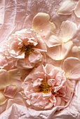 Pink roses on pink fabric background