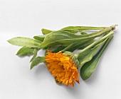 Ringelblume (Calendula), Blätter & Blüte