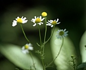 Chamomile Growing Outdoors