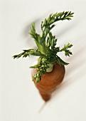 Eine Karotte mit Grün (von oben)