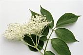 Elderflowers and leaves