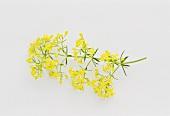 Lady's bedstraw (Galium verum) flowering sprig