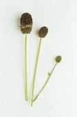 Great burnet (Sanguisorba officinalis) three flowers