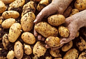 Holding Potatoes