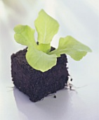 Small lettuce plant with soil
