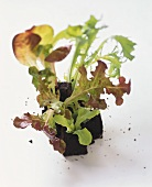 Young endive, oak leaf lettuce, lollo rosso and lettuce plants