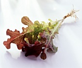Oak leaf lettuce plant with roots