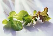 Small lettuce and Lollo Rosso plants