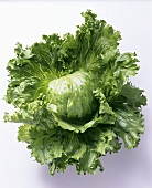 A Large Fresh Head of Iceberg Lettuce