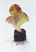 Red Romaine Lettuce Planted in Soil
