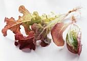Ein Pflänzchen Eichblattsalat mit Wurzeln